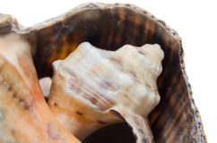 Sea colored shell, close up isolated, white background Royalty Free Stock Images