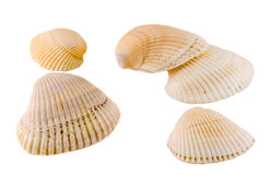 Sea colored shells, close up isolated, white background Stock Images
