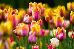 Sea of colorful tulips Stock Photos