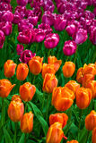 Sea of colorful tulips Royalty Free Stock Photo