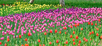 Sea of colorful tulips. Royalty Free Stock Images