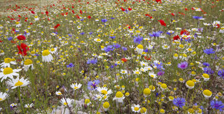 Sea of coloured flowers Royalty Free Stock Photo