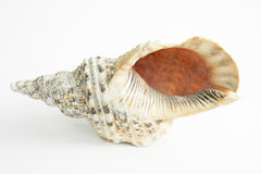 Sea conch shell on  background Royalty Free Stock Images