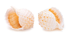 Sea conch shells in a row. Stock Photo