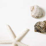 Sea conch shells and starfish Isolated on white background. flat lay Royalty Free Stock Images