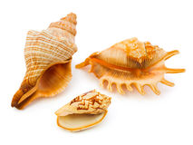 Sea conches Royalty Free Stock Images
