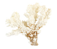 Sea coral. Isolated on white Royalty Free Stock Photo