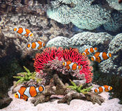 Sea corals and clown fish Royalty Free Stock Image