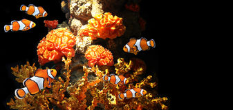 Sea corals and clown fish Stock Images