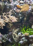 Sea with corals. Sea with corals and Pacific Cleaner Shrimp stock photo