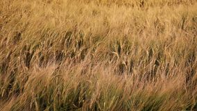 Sea Of Corn In Golden Evening Light. Mass of corn plants sway in the evening stock video footage