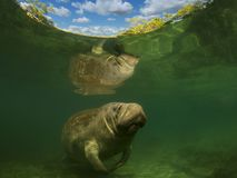 Sea cow or manatee or dugong swim in crystal clear fresh water with her reflection in surface royalty free stock photo