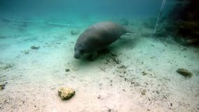 Sea cow manatee underwater in Crystal River.