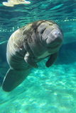 Sea cow Royalty Free Stock Image