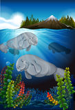 Sea cows swimming under the sea Stock Images