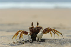 The sea crab. A lonely crab on the shore Royalty Free Stock Images