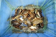Sea crab Stock Image