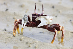 Sea Crab. On the beach Royalty Free Stock Photography