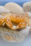 Sea crab. Resting on the rocks Royalty Free Stock Photography