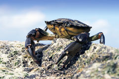 Sea Crab. Small Sea Crab sitting atop some rocks on a beach in Dorset, England Royalty Free Stock Photo