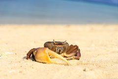 Sea crab on the beach and ocean background Stock Photography