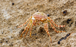 Sea Crab Stock Images