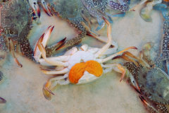 Sea crab with eggs. In fish market of Thailand Royalty Free Stock Photos