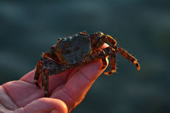 Sea crab on a hand Royalty Free Stock Image