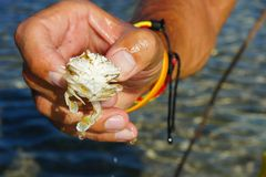 Sea crab on the human hand. Royalty Free Stock Image