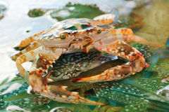 Sea crab in market. Sea crab in water for sale at fish market Royalty Free Stock Photos
