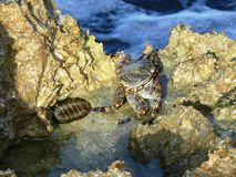 Sea crab. Red brown sea crab on the rocks on the Caribbean seaside Royalty Free Stock Image