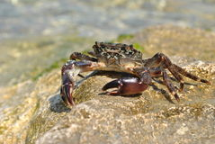 Sea crab on the rock. Сloseup of a sea crab on the rock Royalty Free Stock Photography
