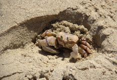 Sea crab in the sand Royalty Free Stock Photography