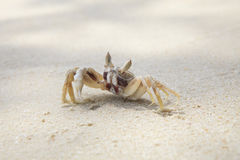Sea crab on sand beach Stock Photography