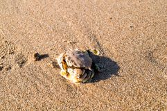 Sea crab on sand look harmony with the color of sand. Sea crab on sand look harmony with the color of sand same it is hiding from people and sunbathing from the Royalty Free Stock Images