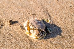 Sea crab on sand look harmony with the color of sand. Sea crab on sand look harmony with the color of sand same it is hiding from people and sunbathing from the Stock Image