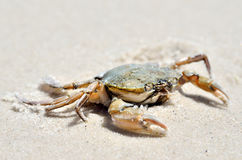 Sea crab on the sand on the seashore Royalty Free Stock Image