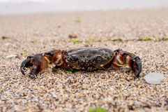 Sea crab Royalty Free Stock Image