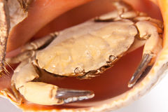 Sea crab in shell Stock Images