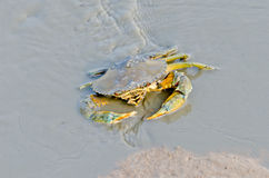 Sea Crab. In watercouse waiting for food Stock Photography