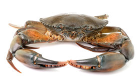 Sea crab  on white background Stock Photography