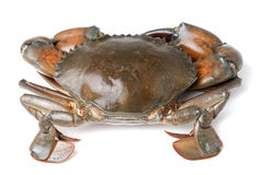 Sea crab  on white background Stock Images