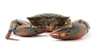 Sea crab  on white background Royalty Free Stock Images