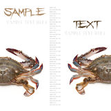 Sea crab. On white background with space for your text Stock Photos