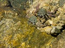 Sea crabs Stock Image