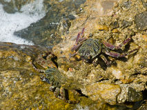 Sea crabs Royalty Free Stock Photo