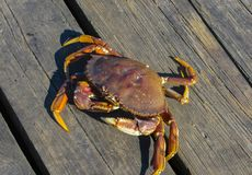 Sea crabs, on the shore of the Pacific Ocean. September 2015.Vancouver stock photos