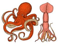 Sea creature octopus and squid. calamari engraved hand drawn in old sketch, vintage style. nautical or marine, monster. Or food. animals in the ocean. template Royalty Free Stock Photos