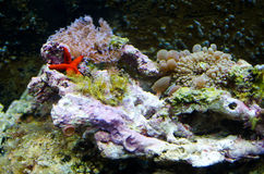 Sea creatures in a salt water aquarium Royalty Free Stock Photography