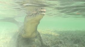 Sea Crocodile saltwater Cuba island Caribbean Sea Video stock video footage